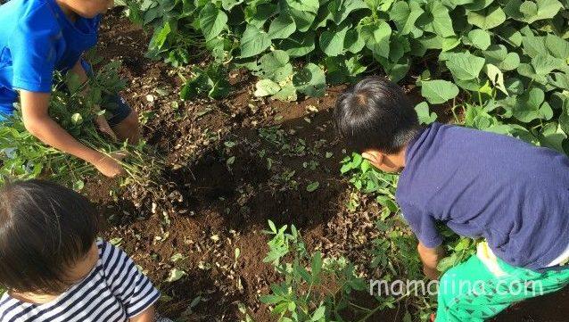 有野実苑で落花生を収穫体験!