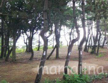 大洗サンビーチキャンプ場 松林